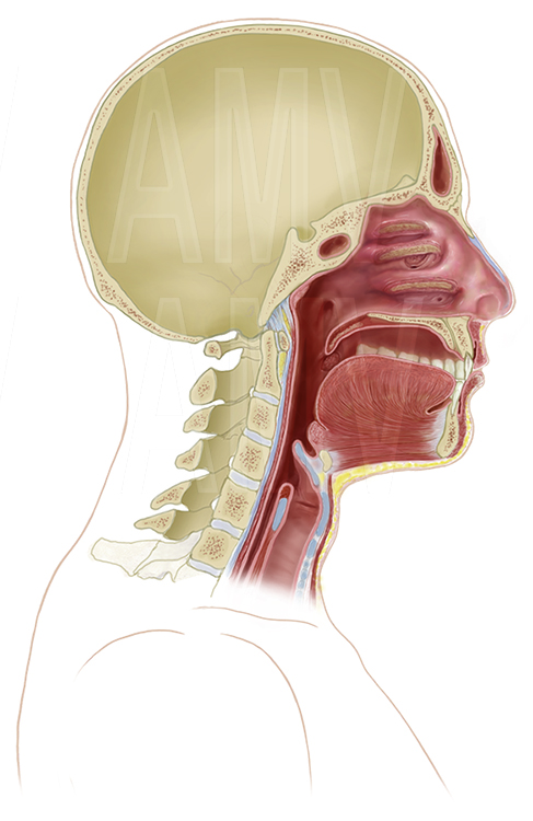 Cross-sectional View of the Nasopharynx