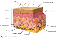 Cross-Section of Normal Skin