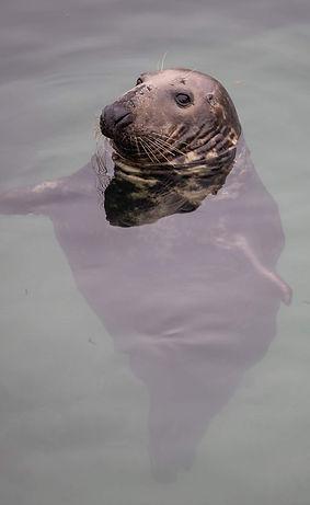 Seal bobbing.jpg