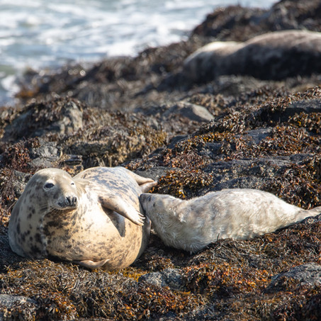 Seal with Pup TB 2020.jpg