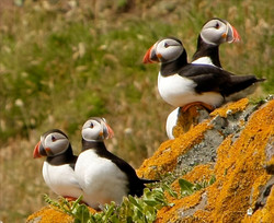 Lambay Archives: Puffins