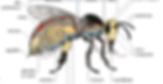 CréaVinsDeFruits - Anatomie d'une abeille