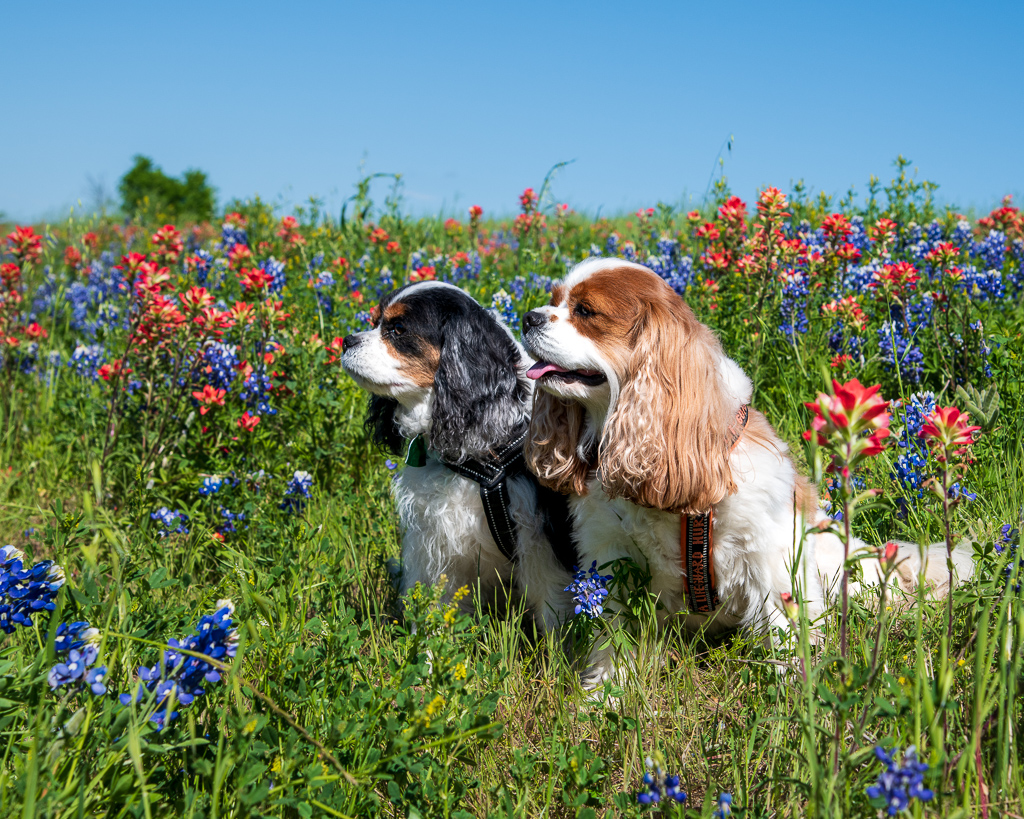 2019_04 Bluebonnets and Dogs 0107_850311