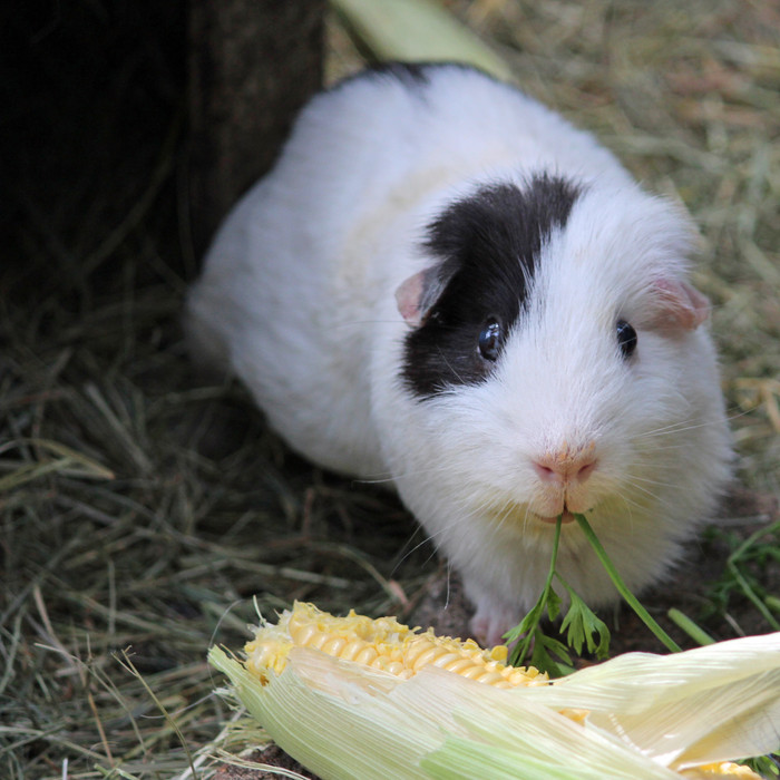 OAP (Osaka the Ageless Piggy)
