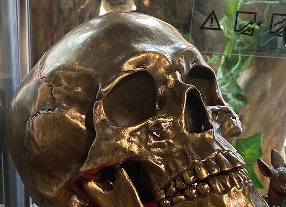 Cranius - Skull