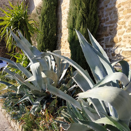 Agaves in Suze la Rousse