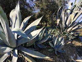 Agaves in Aubres