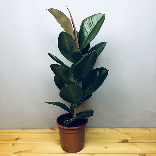 Ficus robusta / Rubber Plant