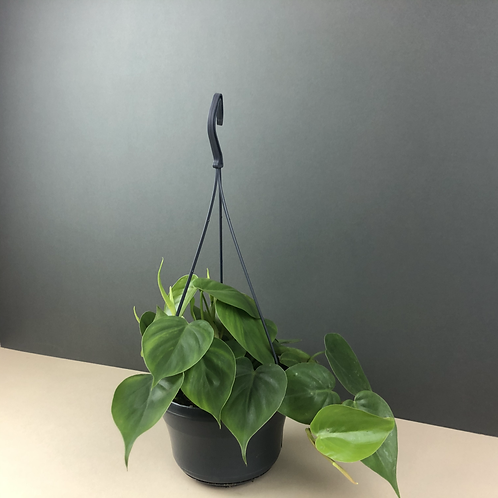 Philodendron scandens / Heartleaf philodendron
