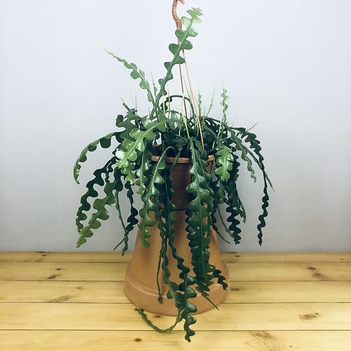 Epiphyllum anguliger / Fishbone Cactus