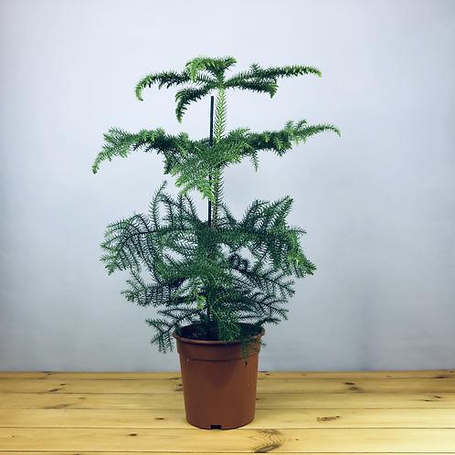 Araucaria heterophylla / Norfolk Island Pine