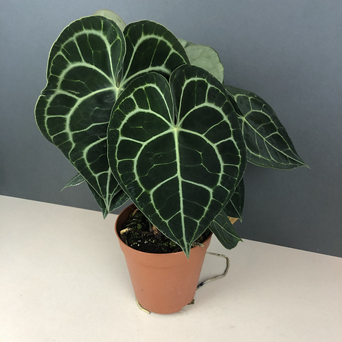 Anthurium clarinervum / Queen Anthurium