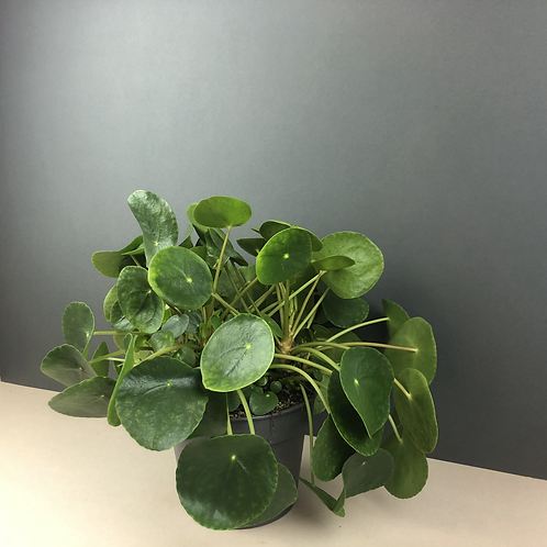 Pilea peperomioides / Chinese Money Plant