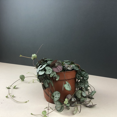 Ceropegia woodii / String of Hearts