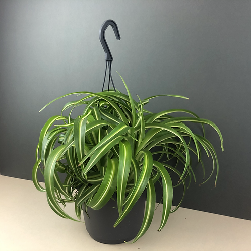 Chlorophytum 'Bonny' / Bonnie Spider Plant