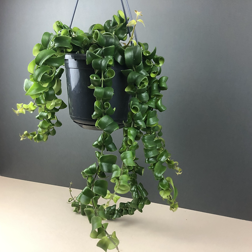 Aeschynanthus 'Rasta' / Lipstick Plant