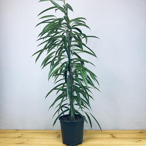 Ficus binnendiijkii 'Alii'