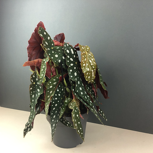 Begonia maculata / Trout Plant