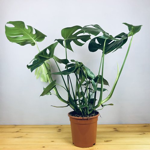 Monstera deliciosa / Swiss Cheese Plant