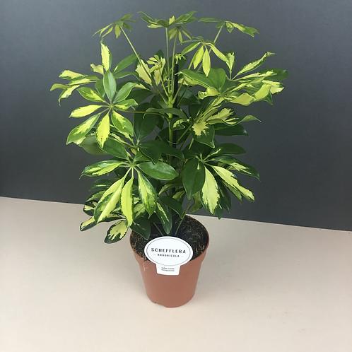Schefflera arbicola / Umbrella plant