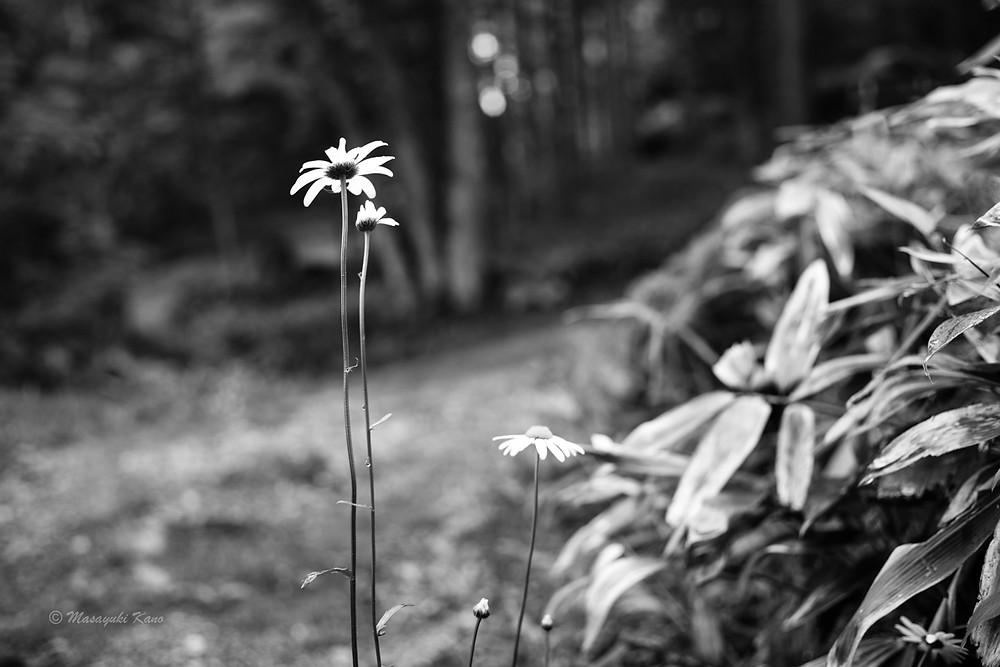 蓼科高原はマーガレットが咲き乱れ、やがてニッコウキスゲが満開に