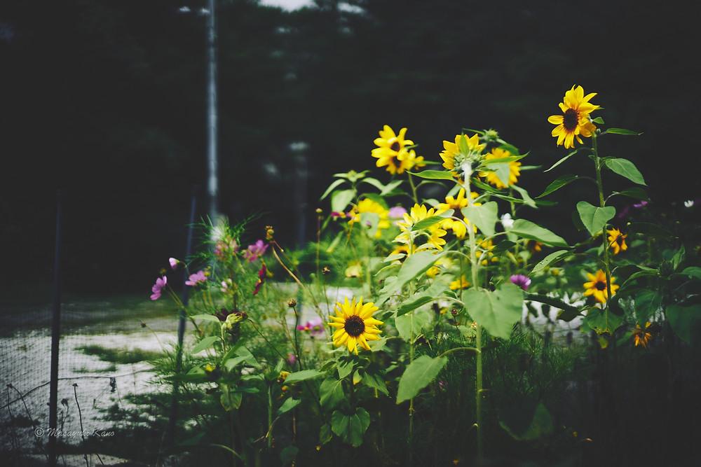 向日葵もそろそろ終わり秋の気配濃厚な蓼科高原