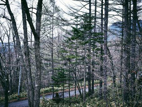 蓼科高原は新緑と山桜の季節です