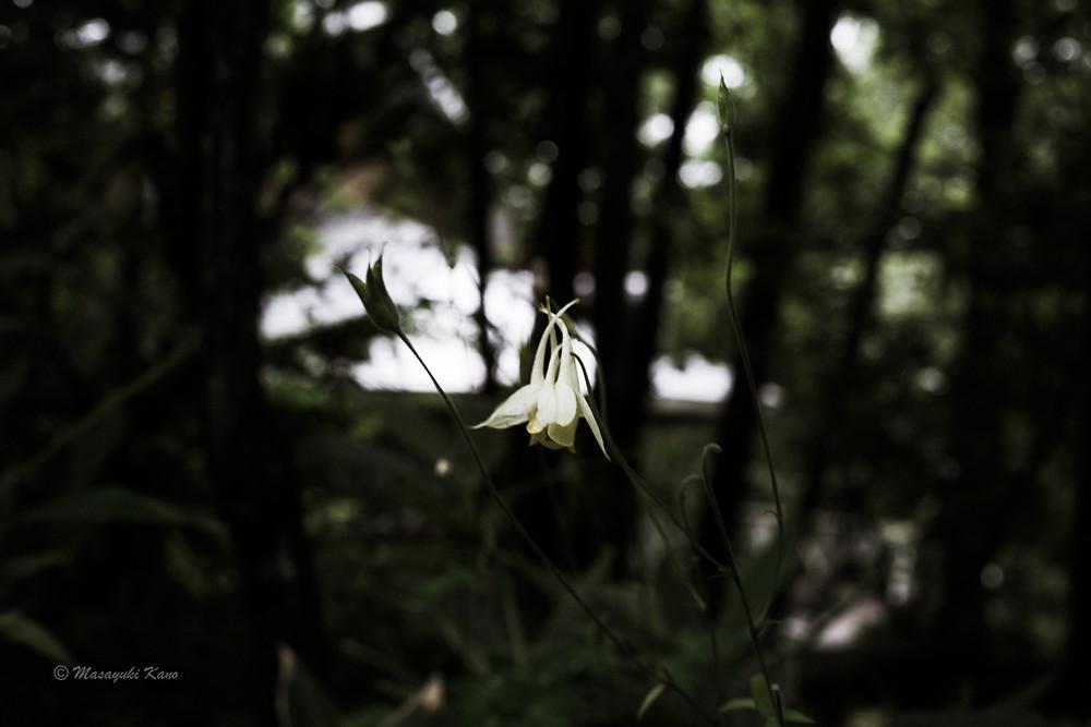 キバナノヤマオダマキ|凡庸な写真|日常写真|蓼科高原