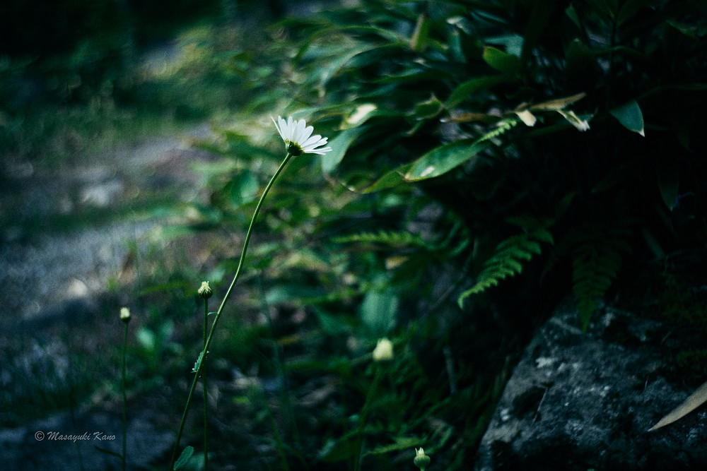 庭に咲くマーガレットとの対話の日々