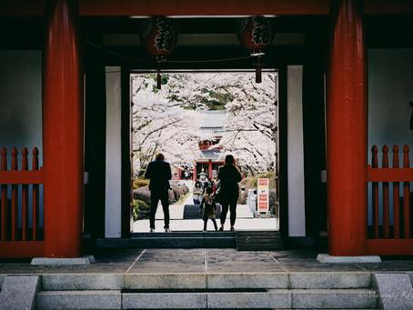 蓼科高原 聖光寺の桜