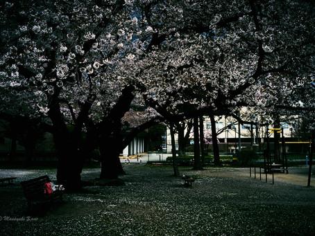 蓼科高原日記/諏訪湖の次は蓼科で桜満開