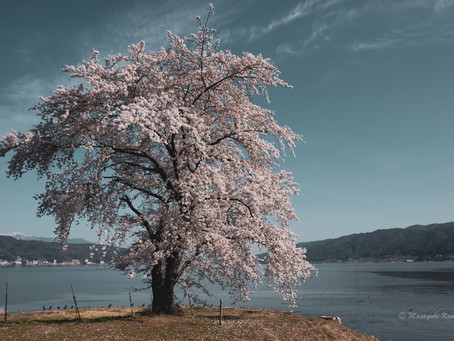 蓼科はもうすぐ桜の季節
