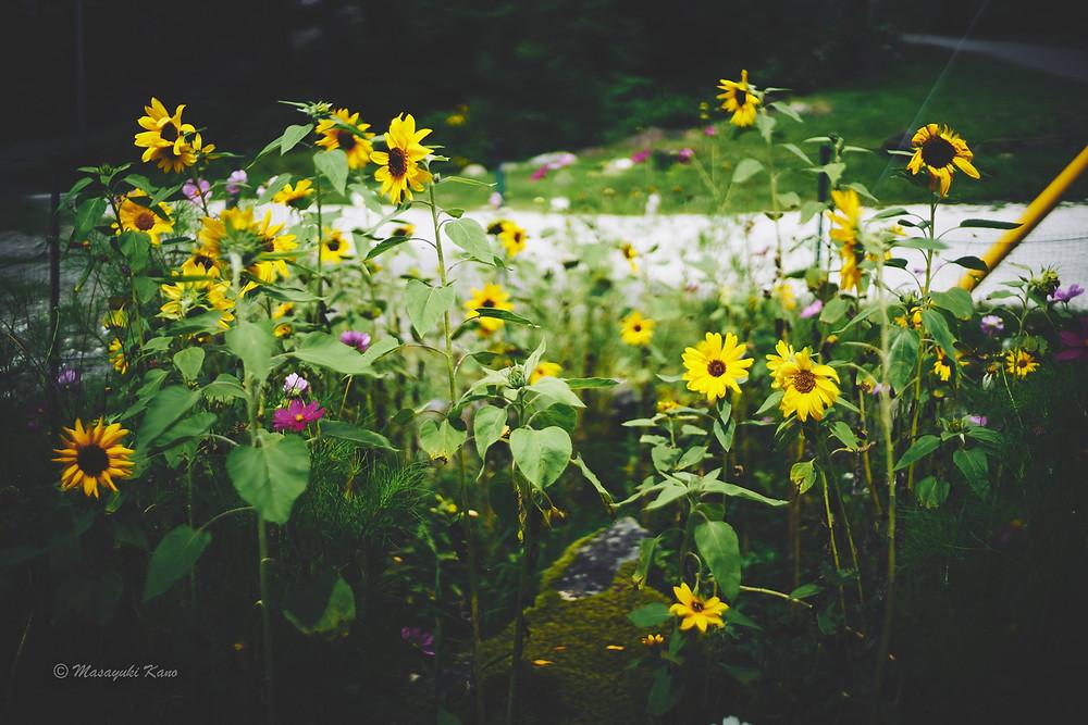 ひまわりとコスモスが同時に咲いている蓼科高原