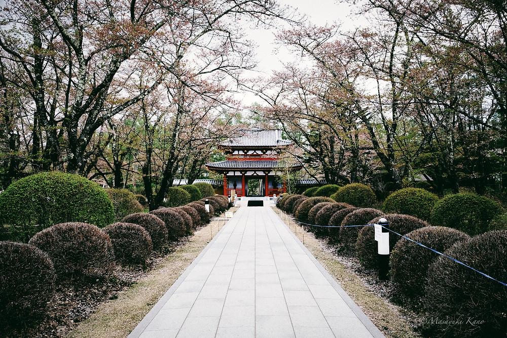 蓼科高原の桜はホンシュウで最も遅く咲く桜です