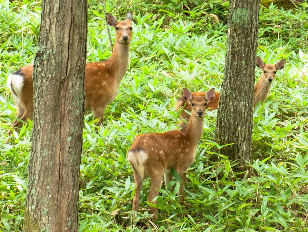 野性の鹿の王国、蓼科高原
