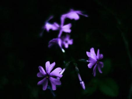 蓼科高原日記/シバザクラ(moss phlox)
