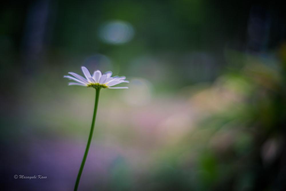 庭に咲いたマーガレット〜健気に咲く