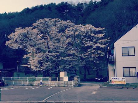 蓼科高原日記/桜咲く山麓の街