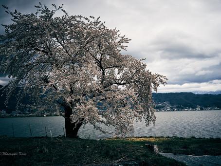 蓼科高原日記/GWに咲く桜