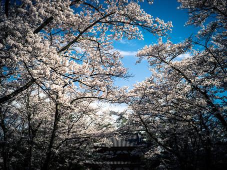 蓼科高原日記/桜満開のTATESHINAです