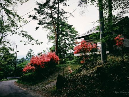 レンゲツツジ咲く蓼科