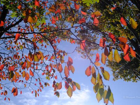里山の紅葉がきれい 観音平や御射鹿池あたりも見ごろ