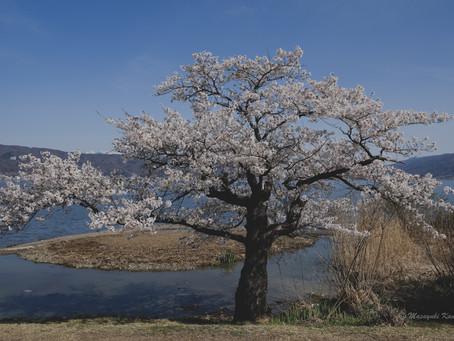 諏訪湖は桜が満開
