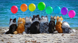 birthday-concepts-dogs-border-collie-dog