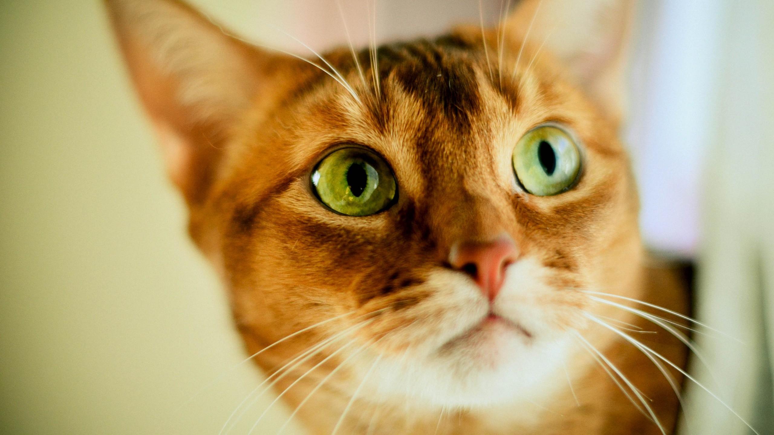 Gatto-viso-occhi-HD-1440x2560