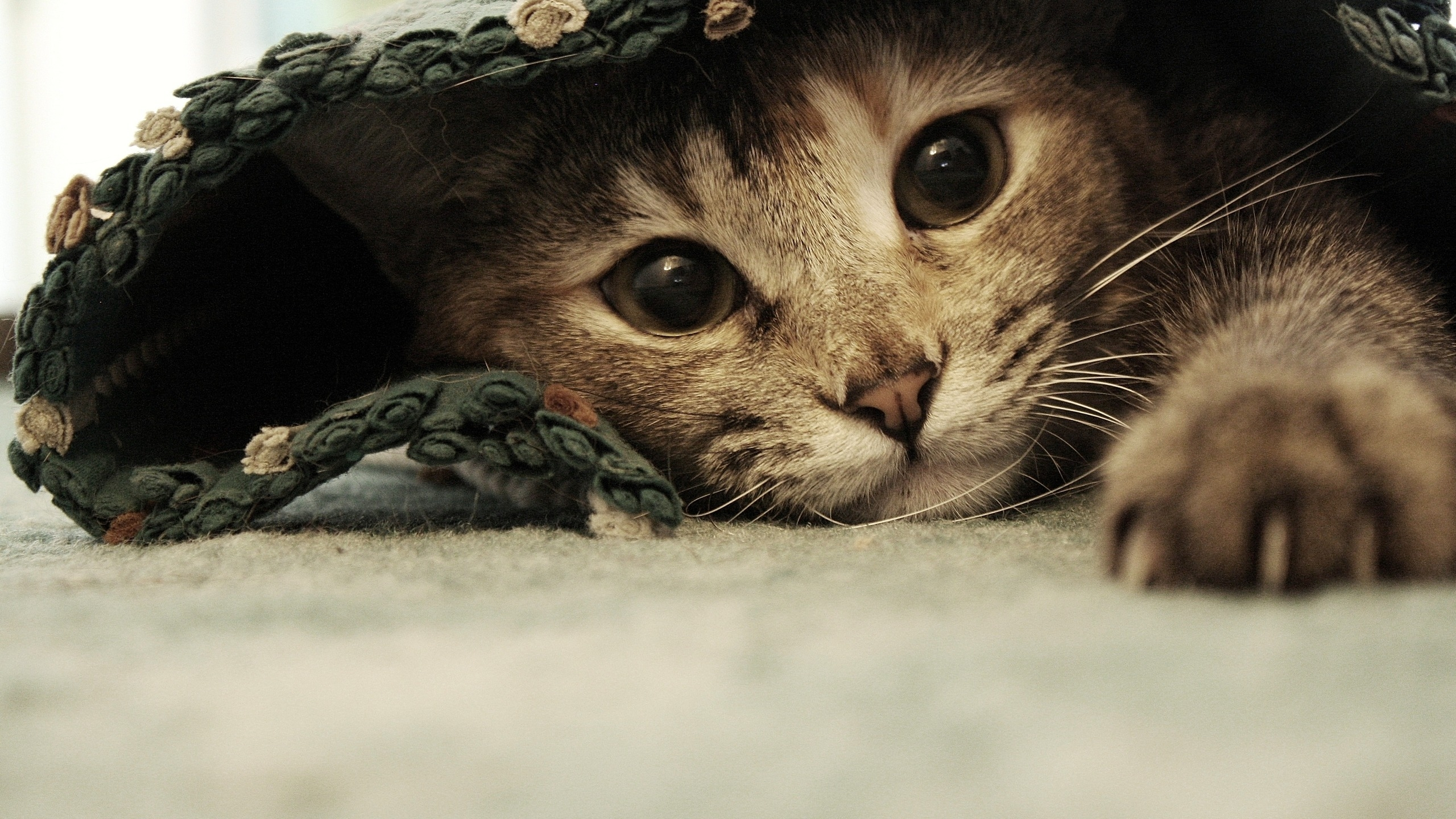 sweet-kitten-2560x1440-wallpaper-4298