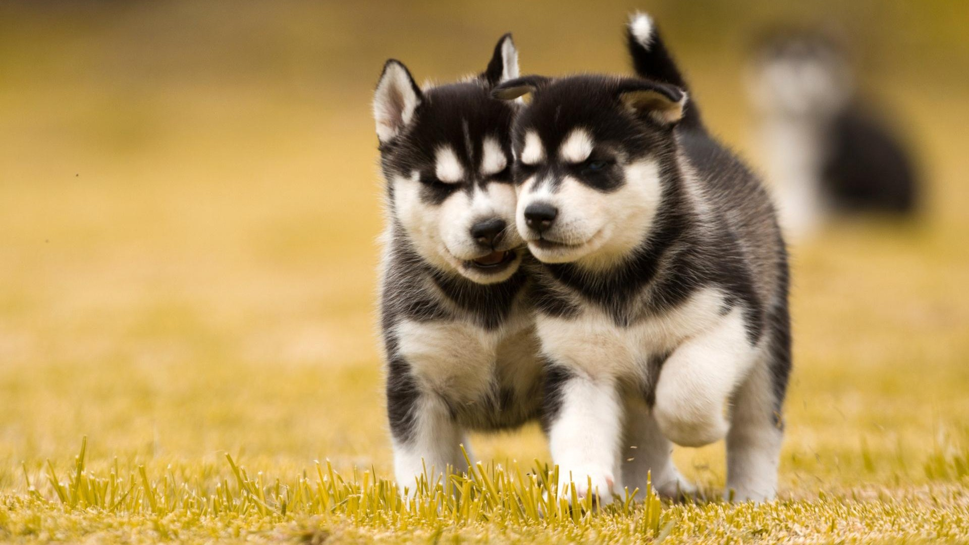 1920x1080_two-husky-dog-puppies