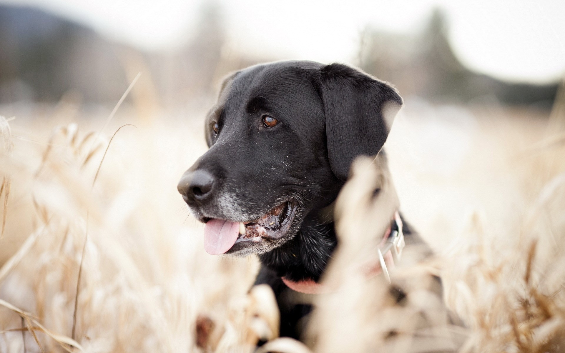 7006883-dog-black-look-field