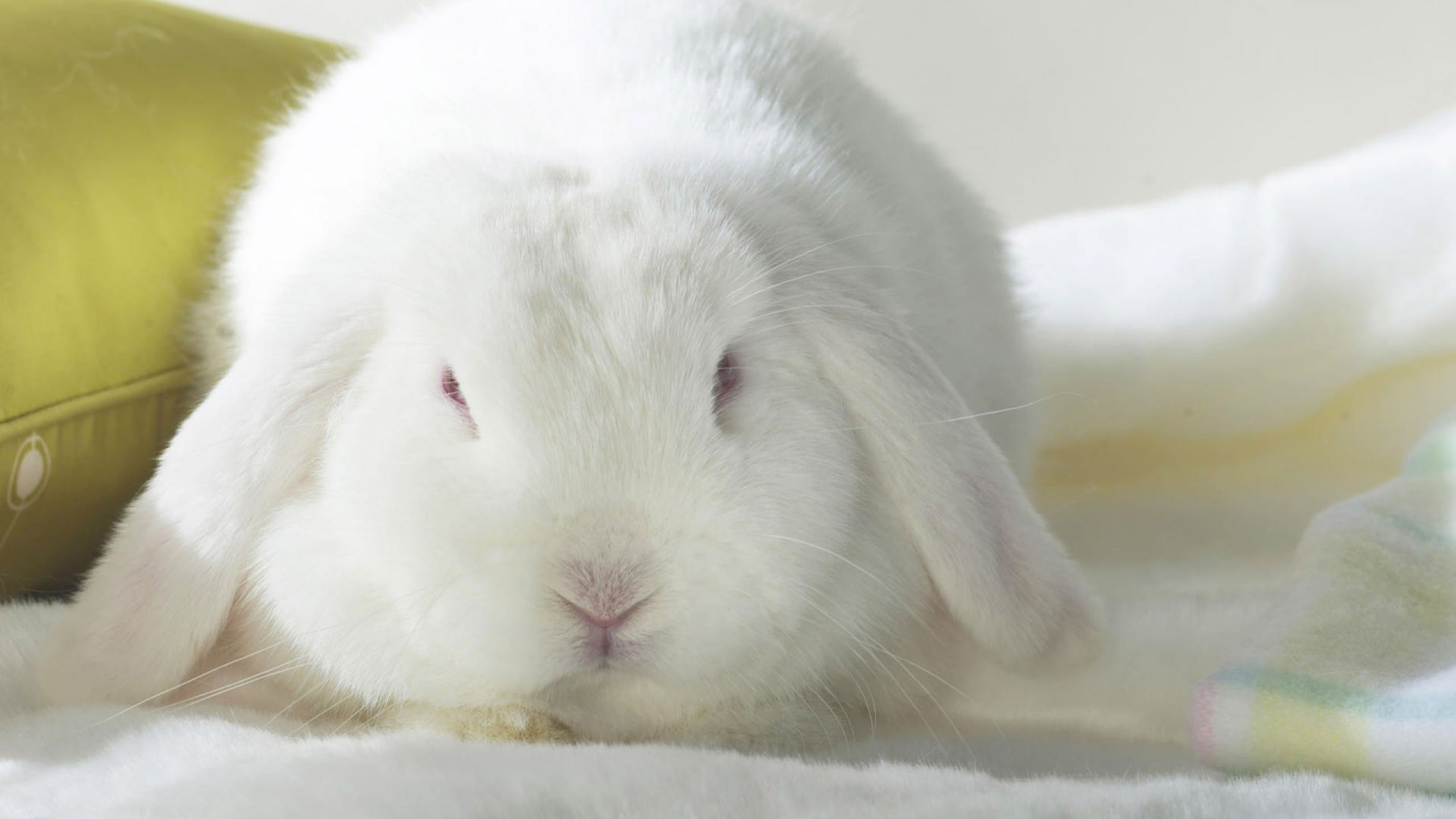coniglio-bianco-2