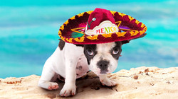 french-bulldog-small-puppy-mexican-red-h